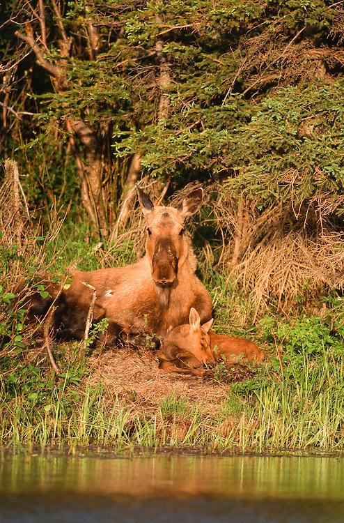 Alaska . Denali National Park . Moose calf (Alces alces) in early spring.