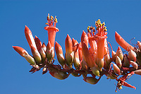 Flowers of ocotillo, Fouquieria splendens, Organ Pipe Cactus National Monument, Arizona.