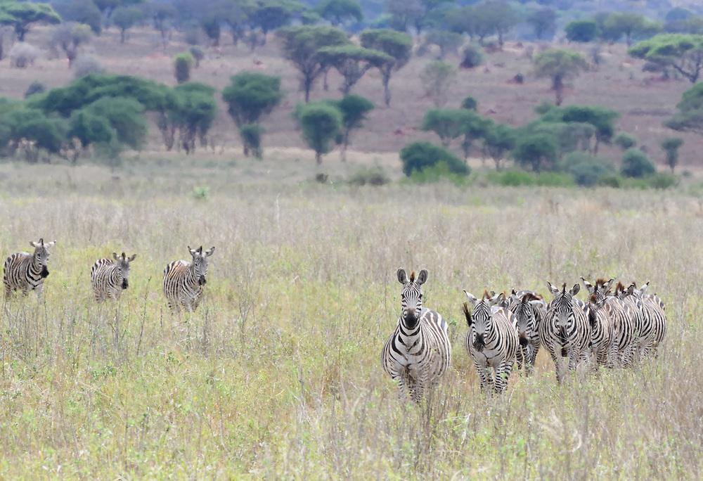 A group of plains zebra (Equus quagga, formerly Equus burchellii) walk through  in the dry grass of the Tarangire National Park. Tarangire National Park, Tanzania.