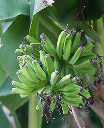 young bananas hanging from a banana tree in Florida