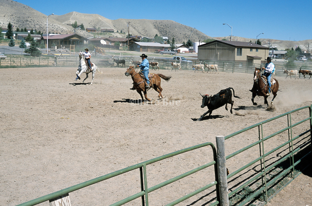 group cow pinning in Dubois Wyoming