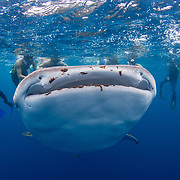 Whale shark (Rhincodon typus) feeding on plankton at the surface with tourists, Honda Bay, Palawan, the Philppines.