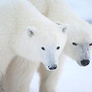 Polar bear (Ursus maritimus) cubs. Churchill, Manitoba, Canada