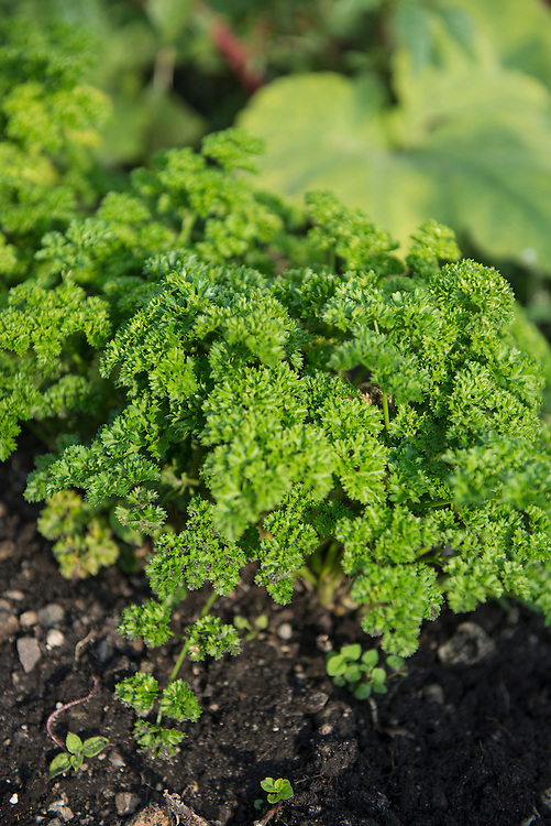 Parsley plant garden earth close-up detail