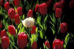 Stock photo of tulips at Bayou Bend Collection and Gardens