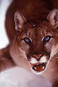 Image of a snarling cougar, mountain lion, puma concolor, in Montana in the snow, Pacific Northwest by Randy Wells