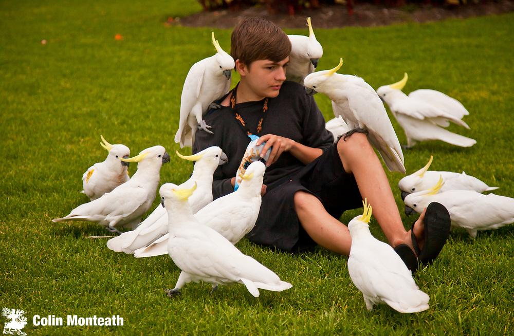 Sulphur crested cockatoos befriend visitor to Royal Botanic Garden, Sydney, NSW, Australia