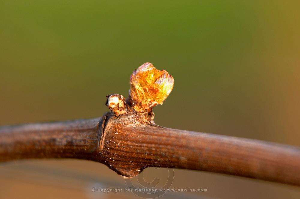 buds on the vine and counter-bud contre-bourgeon chateau pey la tour bordeaux france