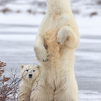 Churchill, Canada<br /> A polar bear yearling cub snuggles in behind mom, as she stands up and surveys her the tundra surroundings.<br /> The mother bear stood up so abruptly that it was difficult to fit her in frame with the 600mm telephoto. I quickly switched the orientation to portrait and rapidly took several steps back. I stopped the aperture down slightly and placed an AF square directly on her chest, thereby ensuring optimal depth of field. Had she pointed her nose skywards, a piece of her would have been clipped. <br /> Canon EOS 1DX, Canon EF 600mm f/4 L IS II USM, handheld<br /> 1/640s; f/8; 600mm ; ISO800  Post Processing done using Lightroom 5.7.1