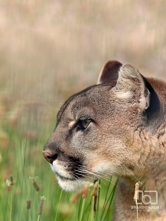 A close up shot of a mountain lion (Puma concolor) laying down in the grass stalking its prey.