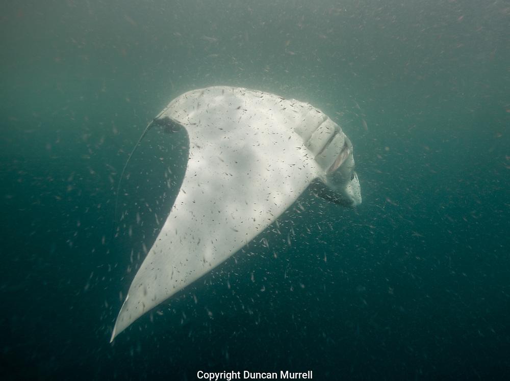Leucistic oceanic manta ray (Manta birostris) barrel roll feeding on tropical krill in Honda Bay, Palawan, the Philippines