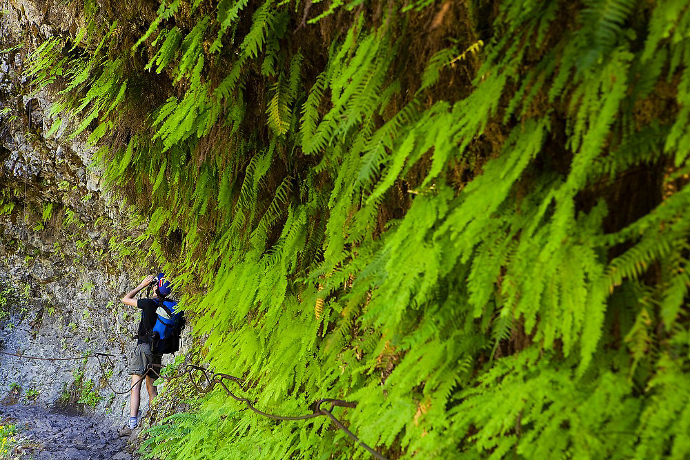 Hiker Hamilton Boyce takes pictures of ferns hanging from the basalt canyon walls along the Eagle Creek Trail, Columbia River Gorge National Scenic Area, Oregon.