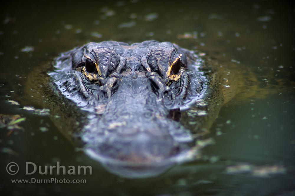 An american alligator (Alligator mississippiensis),  Okefenokee Swamp. Okefenokee National Wildlife Refuge, Georgia.