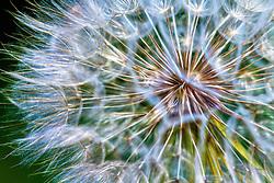 A closeup shot of a puffy white dandelion
