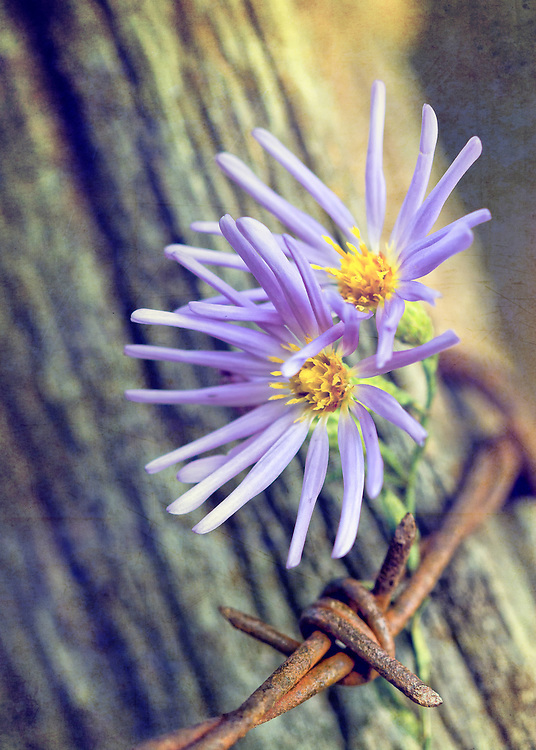 Two Purple Wildflowers Grow Behind Barbed Wire Wrapped Around A Tree
