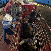 A bull rider mounted on a bull in the bucking chute at a rodeo in Montana.