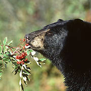 Black Bear (Ursus americanus) feeding on ripe Mountain Ash berries during early fall in Minnesota.