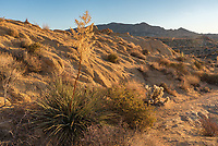These desert plants at the base of Mastodon Peak were looking nice in the early morning light.
