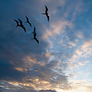 Frigatebirds silhouetted against the beauty of an evening sunset in the Galapagos Islands, Ecuador.