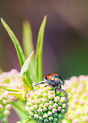 The beetle species Popillia japonica is commonly known as the Japanese beetle. It is about 15 millimetres long and 10 millimetres wide, with iridescent copper-colored elytra and green thorax and head
