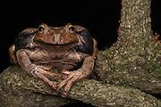 Gastrotheca testudinea<br /> Andes<br /> ECUADOR, South America<br /> IUCN STATUS: <br /> RANGE: Bolivia, Ecuador, Peru, <br /> east Andes 400 - 2000m<br /> Captive