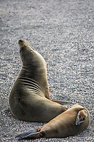 Mother & Baby Galapagos Sea Lion