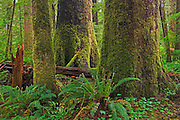Old growth temperate rain forest<br /> Carmanah-Walbran Provincial Park<br /> British Columbia<br /> Canada