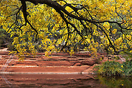 Fall leaves, Oak Creek Canyon, Sedona, AZ