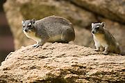 yellow-spotted rock hyrax or bush hyrax (Heterohyrax brucei). Photographed in Tanzania