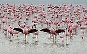 Flock of Lesser flamingos (Phoeiconaias minor) feeding in still lake, Lake Nakuru, Rift valley, Kenya, Africa.