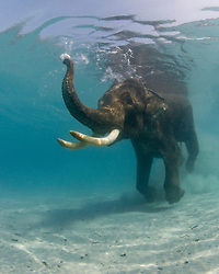 Rajan, an Asian Elephant, Elephas maximus, retired from the logging industry, cavorts in shallow water at Radhanagar Beach, a.k.a. Beach Number 7, Havelock Island, Andaman Islands, Andaman Sea, India, Indian Ocean