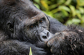 Protecting gorillas at all costs