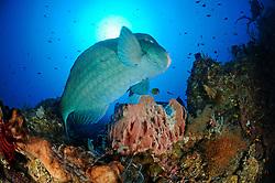 Bolbometopon muricatum, Bueffelkopf-Papageifisch, Green humphead parrotfish, Tulamben, drop off, Bali, Indonesien, Indopazifik, Indonesia, Asien, Indo-Pacific Ocean, Asia