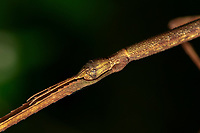 Head of a Giant Stick Insect, Tirachoidea sp., Phasmatidae, Wuliangshan Nature Reserve, in Jingdong county, Yunnan Province, China