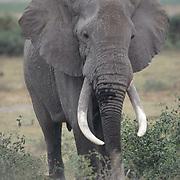 African Elephant, (Loxodonta africana)  Portrait. Kenya. Africa.