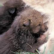 Gray Wolf, (Canis lupus) Young pups nursing. Spring. Montana.*   Captive Animal.