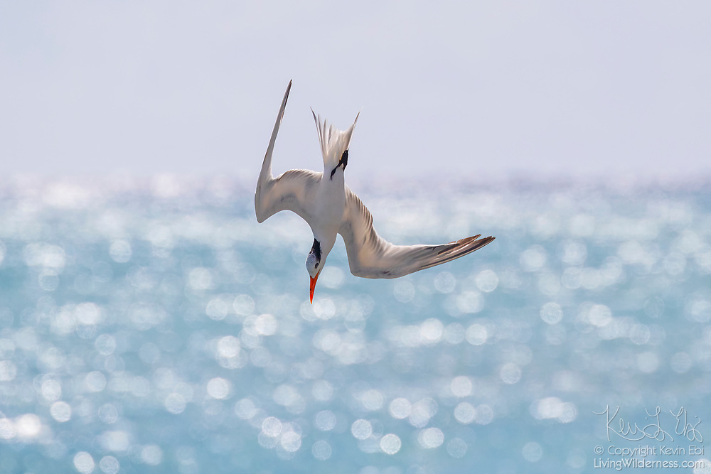 A royal tern (Thalasseus maximus) in nonbreeding plumage dives for food in the blue water of Puerto Real off the coast of Esperanza on the island of Vieques, Puerto Rico. Royal terns dive for small fish, which they catch by striking them with their bills.