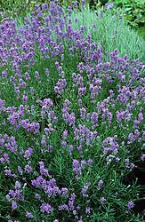 Lavender - Lavandula angustifolia syn. L. officinalis