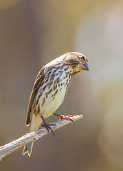 An inquisitive little finch strikes a pose
