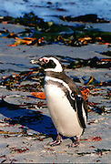 Magellanic penguin, Sea Lion Island, Falkland Islands