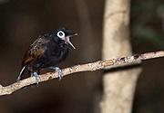 Bare-eyed antbird (Rhegmatorhina gymnops), southern Amazon, Brazil.