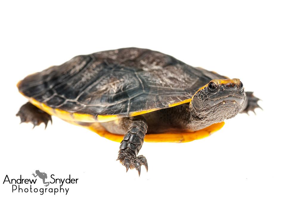 Twist neck turtle, Platemys platycephala, Iwokrama, Guyana, July 2013