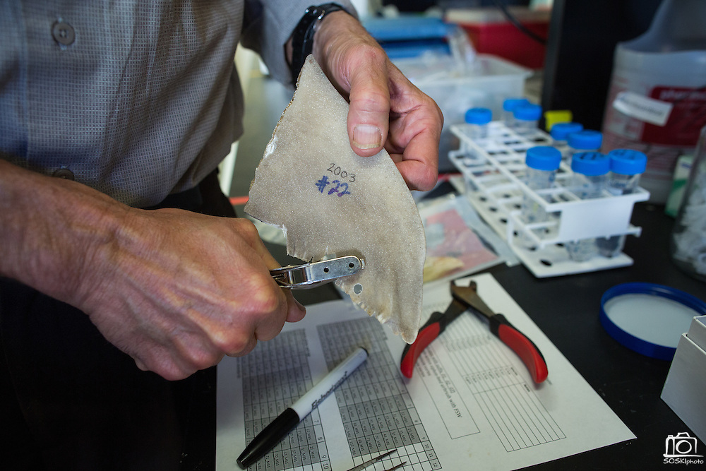 Stanford Director of Hopkins Marine Station Stephen Palumbi clips a shark fin at Stanford University's Hopkins Marine Station in Pacific Grove, California, on February 23, 2016. (Stan Olszewski/SOSKIphoto for Hakai Magazine)
