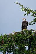 Immature Bald Eagle (Haliaeetus leucocephalus) (Halietus leucocephalus) sitting in a Douglas Fir tree along the Hood Canal of Puget Sound, Washington state, USA