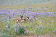 Pronghorn (Antelope) Fawns in Habitat with lupine blooms.