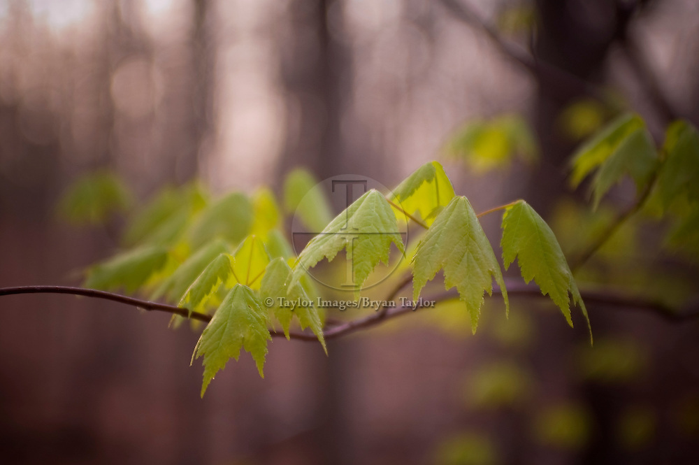 Young maple leaves drape casually on their stems in the early dawn at Hanging Rock State Park in North Carolina.