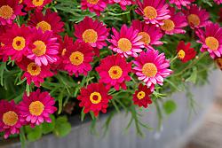 Argyranthemum frutescens 'Madeira Red'