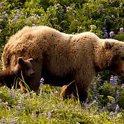 Alaskan Brown Bear (Ursus middendorffi) Mother and cub on grassy hillside. Katmai National Park. Alaska. Spring...Alaskan Brown Bear (Ursus middendorffi) Mother and cub on grassy hillside. Katmai National Park. Alaska. Spring.