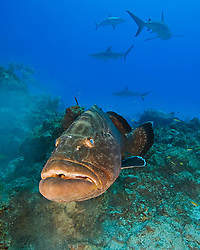 large black grouper, Mycteroperca bonaci, and Caribbean Reef Sharks, Carcharhinus perezii, black grouper can grow up to 1.5 m weighing 100 kg, Grand Bahama, Bahamas, Caribbean Sea, Atlantic Ocean