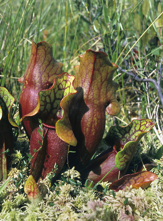 PITCHERPLANT Sarracaenia purpurea (Sarraceniaceae) Height less than 40cm. Bizarre-looking insectivorous perennial of bogs. FLOWERS are 5cm across, purple and nodding; on long stalks (Jun-Jul). FRUITS are capsules. LEAVES are 10-15cm long, shaped like pitchers; insects are digested by enzyme-rich liquid contained within.